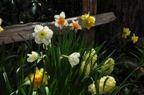 As assortment of daffodils