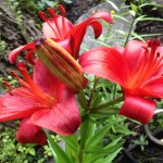 Deep red lilies at Timberwolf Creek Bed and Breakfast, Maggie Valley NC