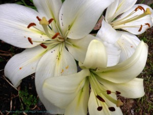 Cocossa almost white lilies at Timberwolf Creek Bed and Breakfast, Maggie Valley NC