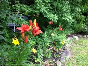 Asiatic lilies at Timberwolf Creek Bed and Breakfast, Maggie Valley NC