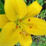 Bright yellow lily at Timberwolf Creek Bed and Breakfast, Maggie Valley NC