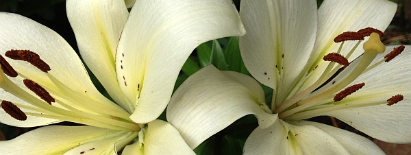 Pale Yellow Lilies at Timberwolf Creek Bed and Breakfast, Maggie Valley NC