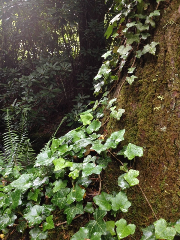 ivy and moss on tree
